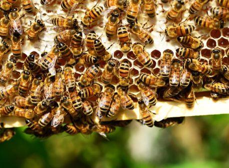 mesilaste